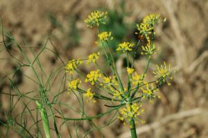 Foeniculum vulgare subsp. vulgare
