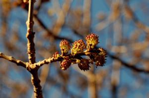 Fraxinus angustifolia subsp. oxycarpa
