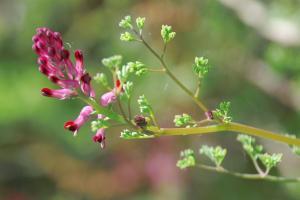 Fumaria officinalis subsp. officinalis