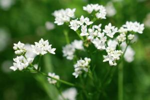 Galium debile