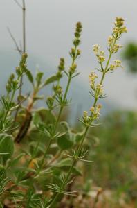 Galium lucidum subsp. lucidum