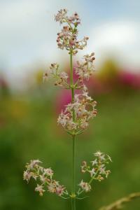Galium lucidum subsp. venustum