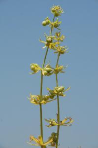 Galium tricornutum