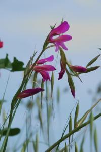 Gladiolus italicus 15