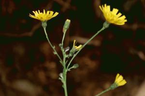 Hieracium sabaudum