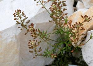 Hornungia petraea subsp. petraea