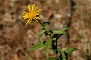 Inula salicina subsp. salicina