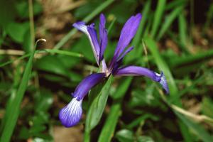 Iris lorea
