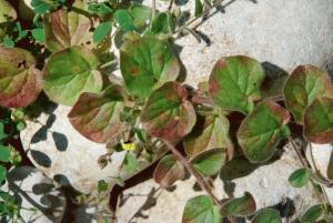 Kickxia spuria subsp. integrifolia