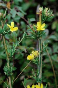 Lactuca viminea subsp. viminea