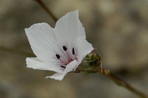 Linum tenuifolium
