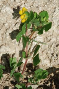 Lotus ornithopodioides 19