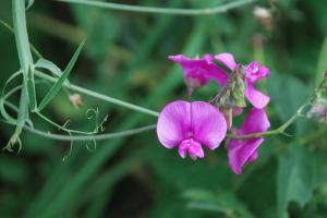 Làthyrus sylvestris subsp. sylvestris