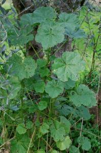 Malva parviflora 9