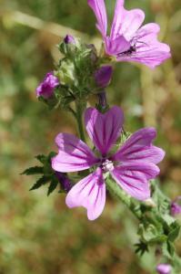 Malva sylvestris subsp. sylvestris