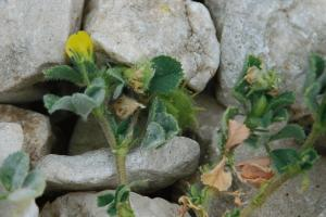 Medicago rigidula