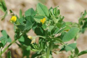 Medicago scutellata