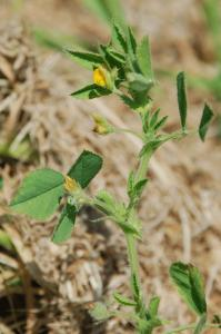 Medicago scutellata 14