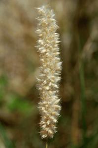 Melica transsylvanica subsp. transsylvanica