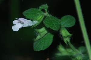 Melissa officinalis subsp. officinalis