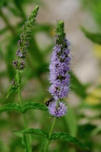 Mentha spicata subsp. spicata