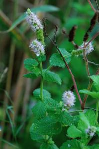 Mentha suaevolens subsp. suaevolens