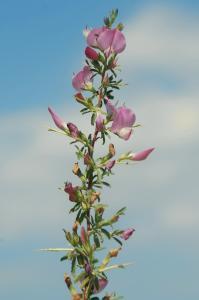 Ononis spinosa subsp. spinosa