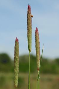 Phalaris coerulescens