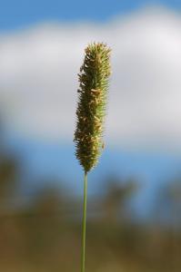 Phleum pratense subsp. pratense