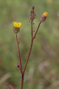 Picris hieracioides subsp. hieraciodes