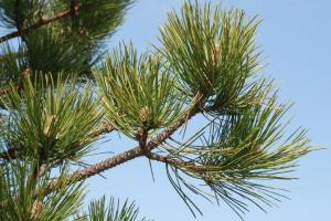 Pinus pinaster subsp. pinaster