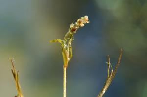 Potamogeton pusillus