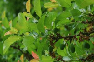 Prunus domestica subsp. insititia