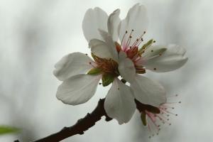 Prunus dulcis 6