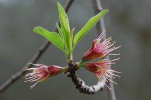 Prunus dulcis 7