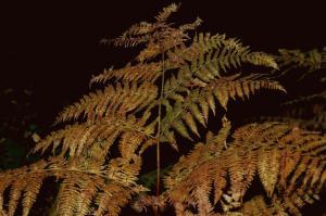 Pteridium aquilinum subsp. aquilinum