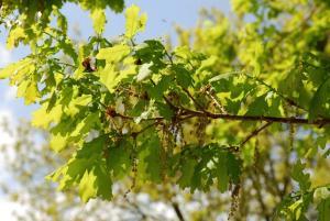 Quercus robur subsp. robur