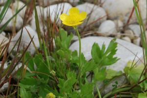 Ranunculus bulbosus subsp. aleae