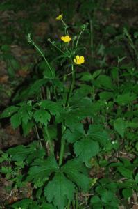 Ranunculus lanuginosus