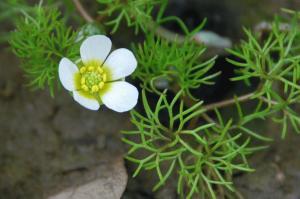 Ranunculus trichophyllus subsp. trichophyllus