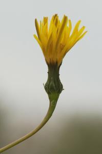 Reichardia picroides 15