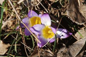 Romulea bulbocodium 7