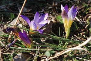 Romulea bulbocodium 8