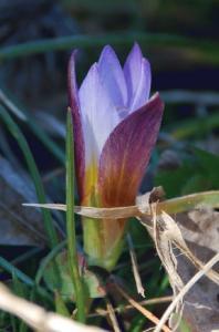 Romulea bulbocodium 9