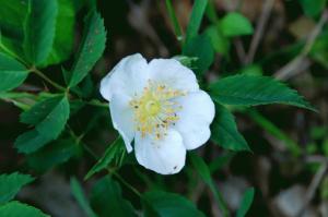 Rosa arvensis