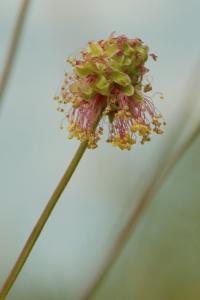 Sanguisorba minor subsp. muricata