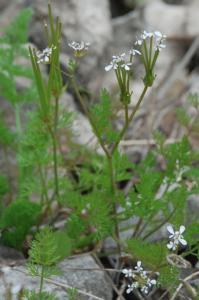 Scandix pecten-veneris subsp. pecten-veneris 13