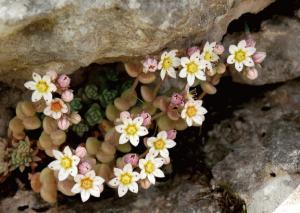 Sedum dasyphyllum subsp. dasyphyllum