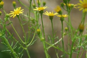 Jacobaea delphinifolia