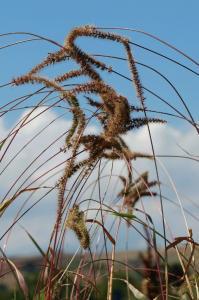 Setaria verticillata subsp. verticillata